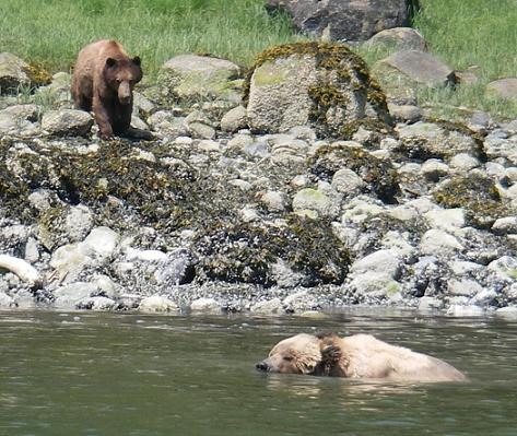 Grizzly mating season