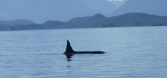 Orca A72