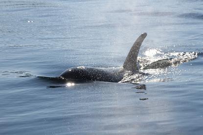 Killer Whale approachiing