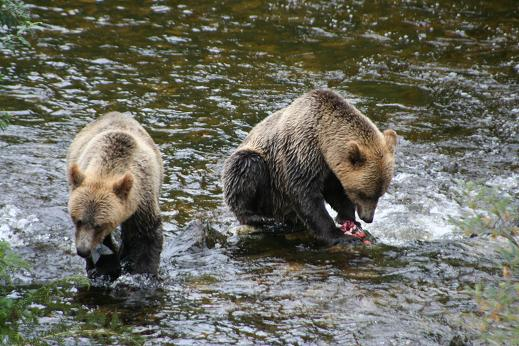 Young grizzlies feeding