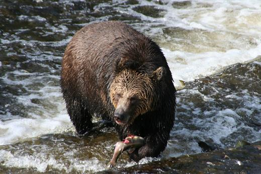 Grizzly bear Eating