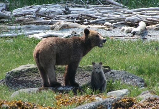 Grizzly with new cub