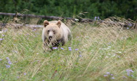 Grizzly bear coming