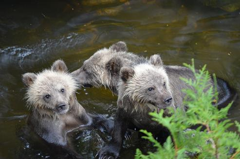 Grizzly triplets