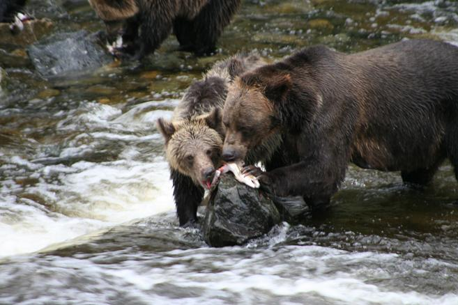Grizzly Bears Share