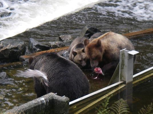 Grizzly stealing salmon