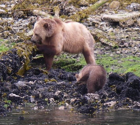 Spring grizzly bear cubs