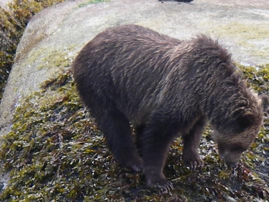 grizzly on shore very close