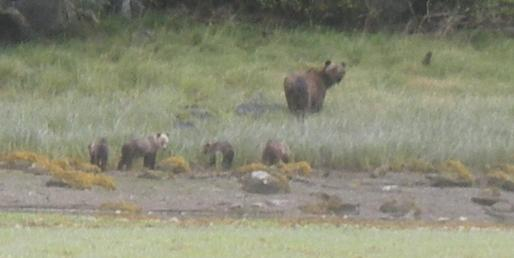 Four Grizzly Bear cubs