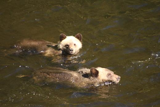 Grizzly cubs looking