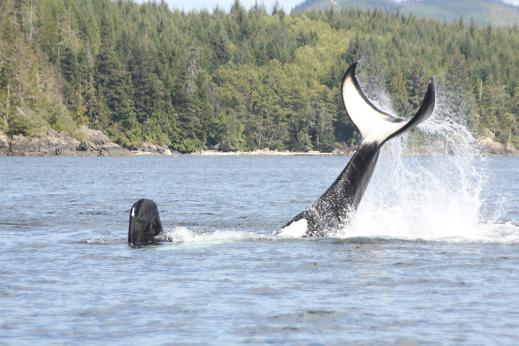Killer whale tail slapping