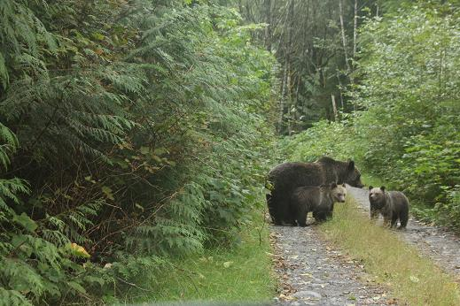 Grizzly on road