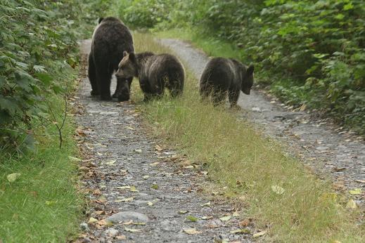 Grizzly blocking raod