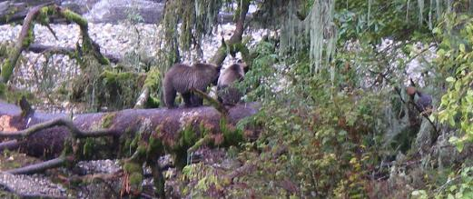 Grizzly cubs overlook river