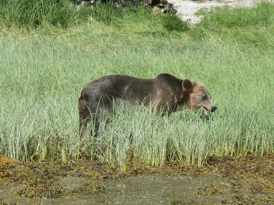 Grizzly bear grazing