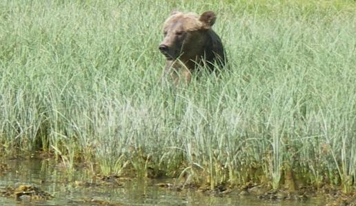 Grizzly in sedge grass