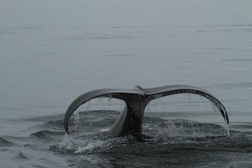 Killer whale diving
