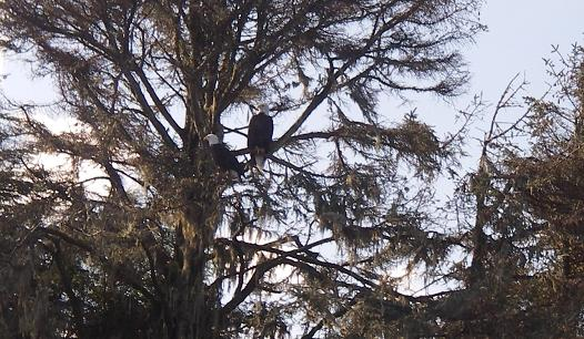 Bald eagles perched to feed