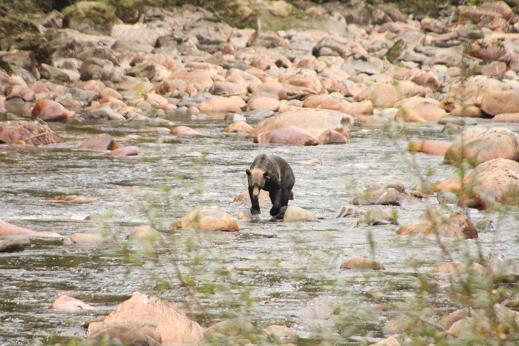 Grizzly walking upriver