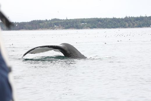 Humpback whale close to boat