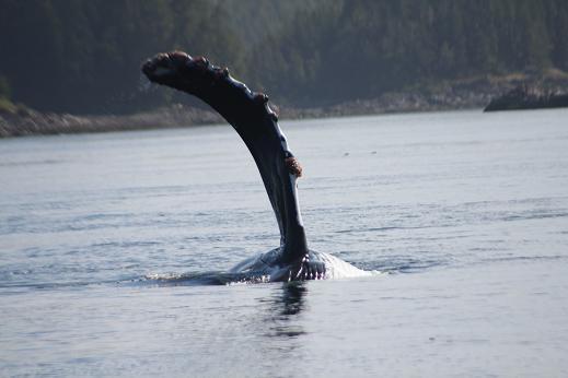 Humpback whale Fin?