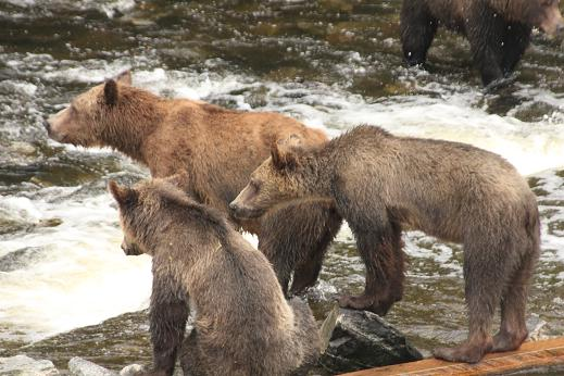 lean grizzly bears are hungry