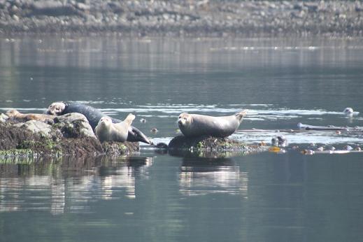 Harbour seals on a black bear tour