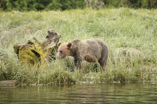Spring Grizzly Bear