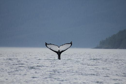 Humpback tail ID