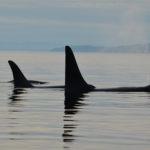 orca johnstone strait