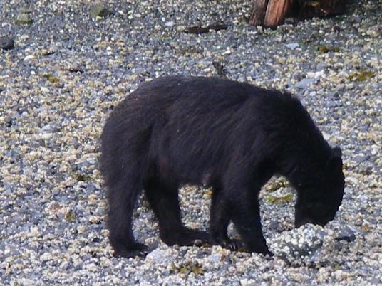 nursing Black Bear in BC