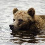 bearswim glendale