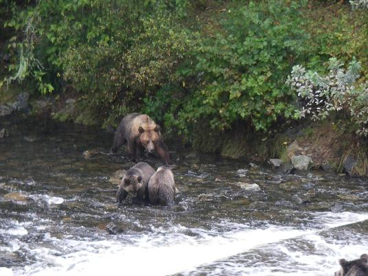 Grizzly bear family fising Knight Inlet