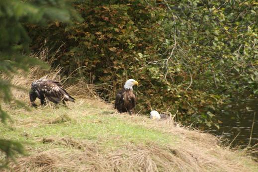 bald eagles on river