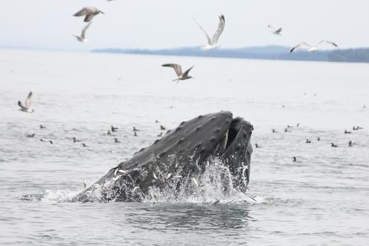 humpback whale lunge