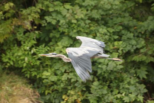Grat blue heron