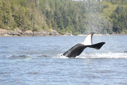 Orca lobtailing