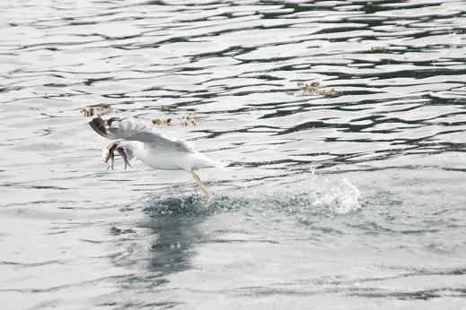 seagul fishing