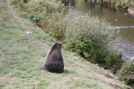 Grizzly bear watching river