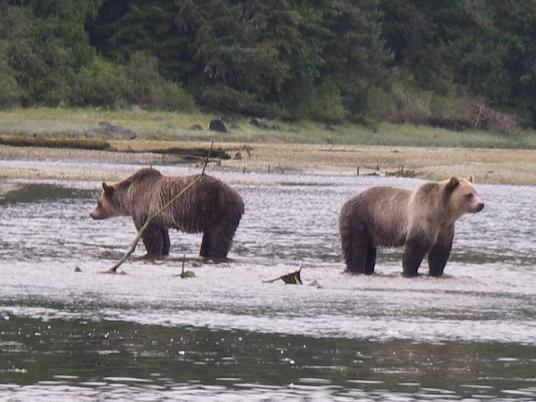 Grizzlies waiting for salmon