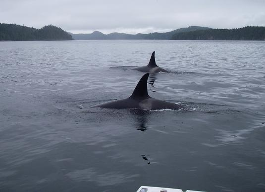 orca visiting close