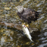 eagle salmon knight inlet