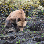 grizzly searching for crabs
