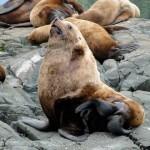 seals_sea-lions-03