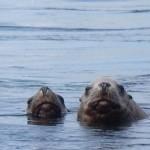 seals_sea-lions-04