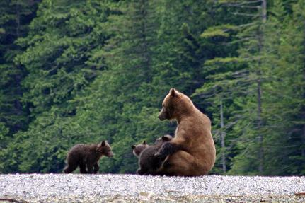 grizzly bear nurse three cubs