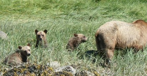 grizzly bears graze sedge grass