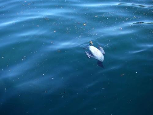 orca play with ducks