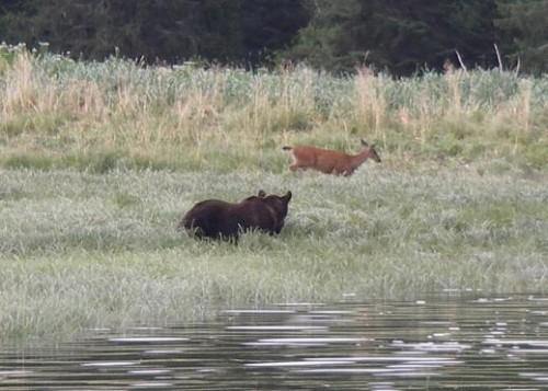grizzlies and deer grazing