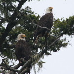 bald eagles on a grizzly river